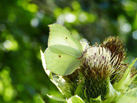 Gonepteryx Rhamni, White Ling, Thistle, Blossom, Bloom