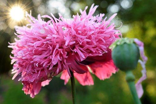 Poppy, Blossom, Bloom, Close Up, Poppy Capsule, Light