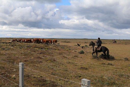 Cow, Cows, Chili, Patagonië, Cattle, Cowboy