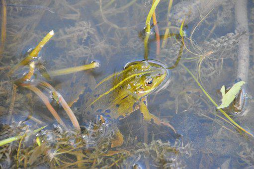 Frog, Toad, Amphibians, Green, Nature, Creature, Pond