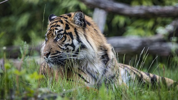 Tiger, Big Cat, Predator, Dangerous, Animal World