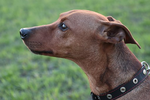Dog, Portrait, Pinscher, Breed, Eyes, Attention, Head