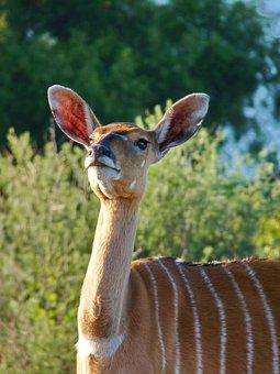 Nyala, Antelope, Female, Animal, Mammal, Nature