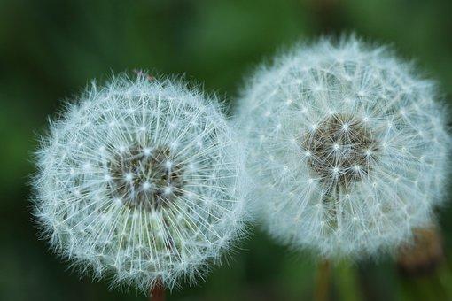Dandelion, Two, Flower, Nature, Plant, Spring, Flora