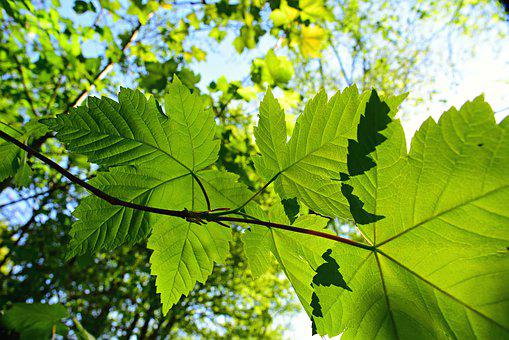 Leaf, Foliage, Twig, Tree, Branch, Forest, Green, Vein