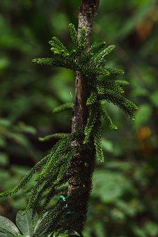 Fern, Pine, Greenery, Green, Nature, Forest, Foliage