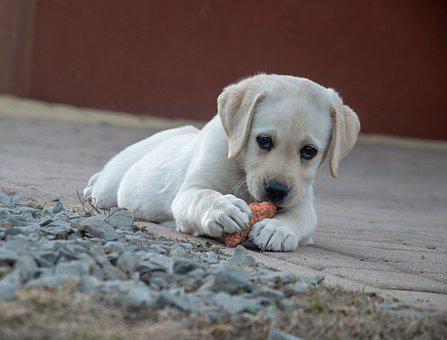 Dog, Carrot, Labrador, Animal, Cute, Small, Food, Eat