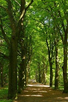 Beech, Tree, Avenue, Beukenlaan, Forest, Light