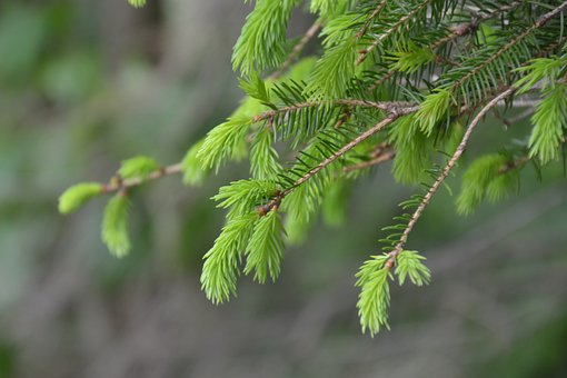 Spruce, Boy Shoots, Spring, Tree, Green, Needles