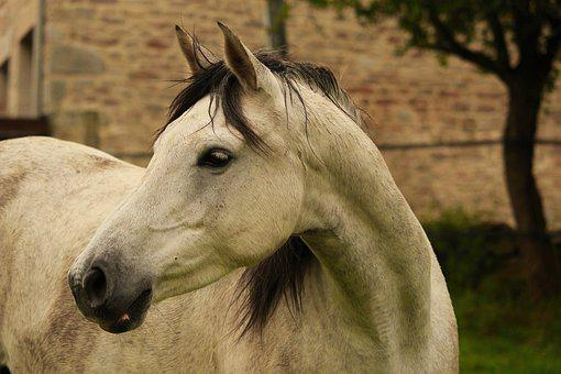Horse, Horses, Arabian Horse, Nature, Animals, Equine
