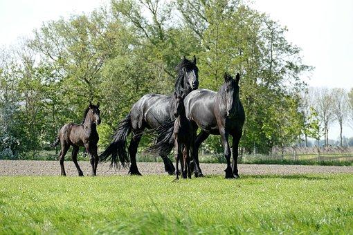 Horse, Horses, Foal, Foals, Animals, Nature, Animal