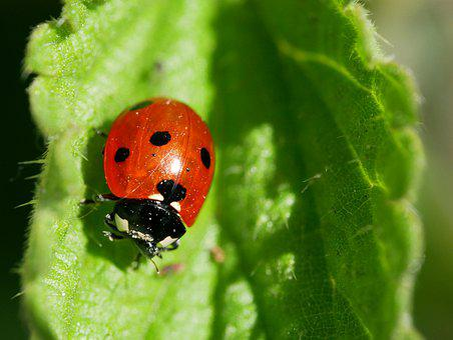 Ladybug, Flower, Plant, Leaf, Insect, Red, Point, Task