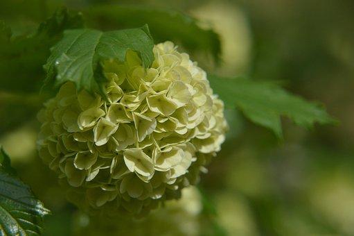Viburnum Plicatum, Japanese Snowball Viburnum, Flower