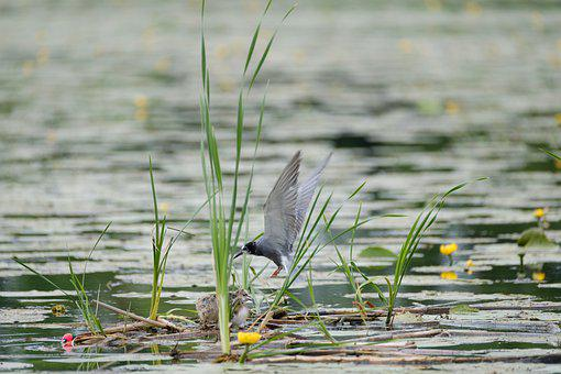 Black Tern, Chlidonias Niger, Bird, Avian, Lake, Pond