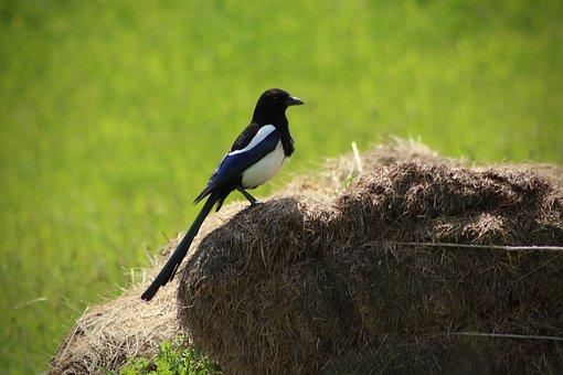 Elster, Bird, Raven Bird, Pica Pica, Meadow, Compost