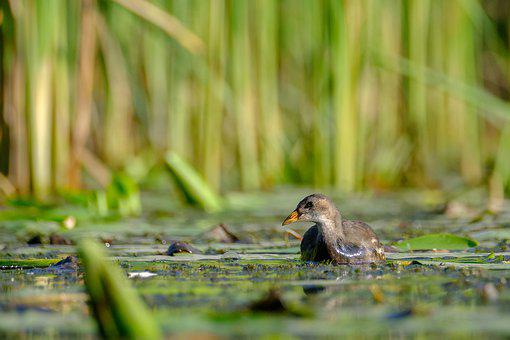 Common Moorhen, Gallinula Chloropus, Bird, Nature, Reed