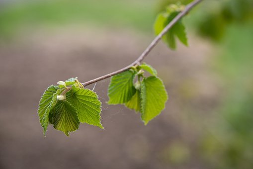 Leaves, Green, Hazelnut, Branch, Spring, Nature