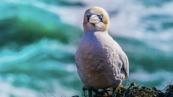 Northern Gannet, Sea Bird, North Sea, Bird