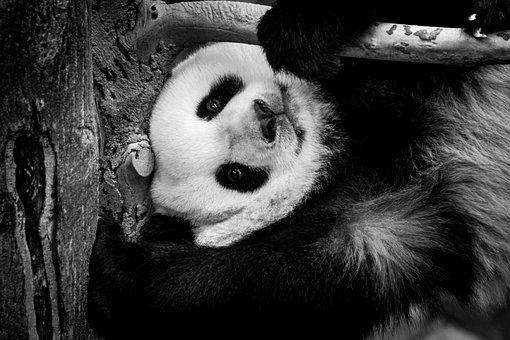 Panda, Giant, Zoo, White, Black, Mammal, Wildlife