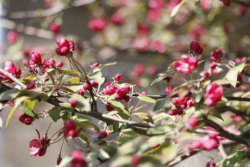 Spring, Bloom, Apple Blossoms, Paradise Apple