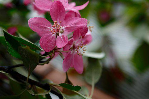 Apple Blossoms, Paradise Apple, Pink, Spring Flowering