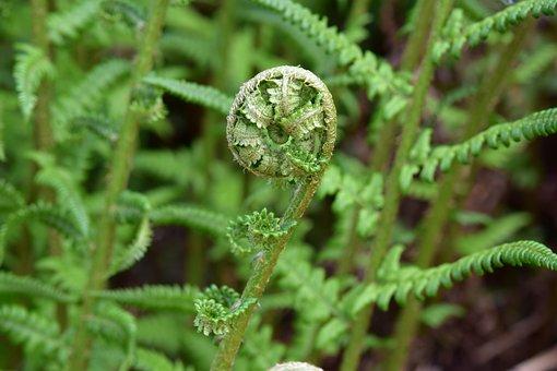 Fern, Seedling Fern, Plant Of The Undergrowth