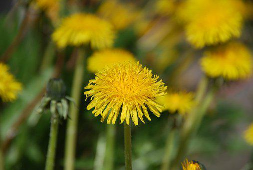 Dandelion, Yellow, Spring, Flower, Plant, Close Up