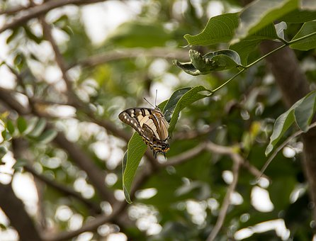 Butterfly, Tailed Emperor, Polyura Sempronius, Insect