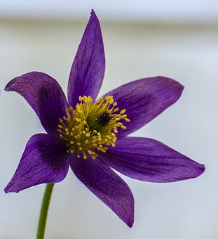 Flower, Pulsatilla, Purple, Six Petals