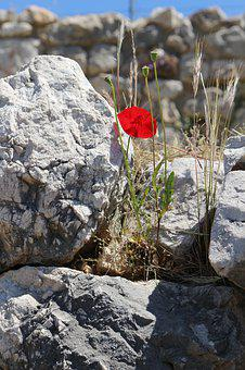 Blossom, Bloom, Poppy, Red, Nature, Flowers, Plant