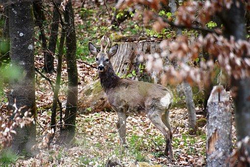 Roe Deer, Ruminant, Paarhufer, Antler, Hunting, Forest