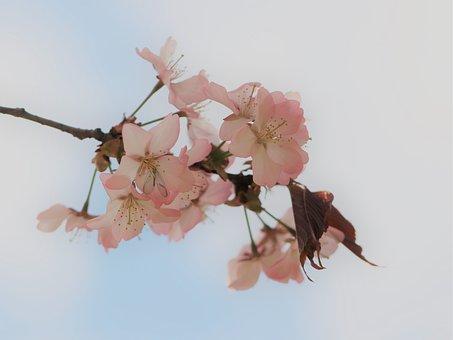 Sakura, Spring, Flower, Tenderness, Bloom, Nature