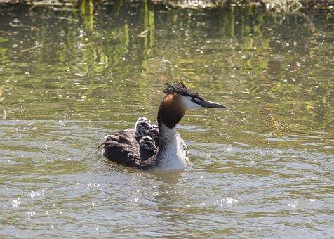 Great Crested Grebe, Chicks, Water Bird, Water, Swim