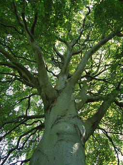 Mature, Beech, Tree, Trunk, Branches, Summer, Green