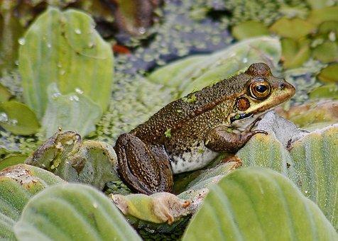 Frog, Pond, Amphibian, Prince, Animal, Water, Nature