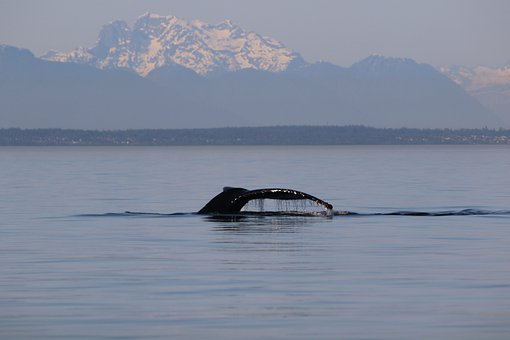 Humpback, Whale, West Coast, Ocean, Mammal, Sea, Animal