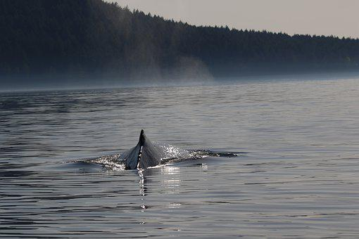 Humpback, Whale, Whales, Bc, West Coast