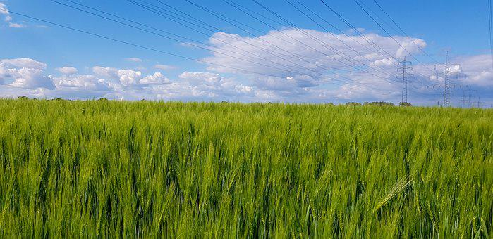 Wheat Field, Plant, Spring, Growth