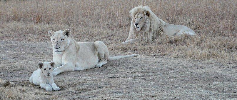 White Lion Family, White Lion, Lion, Wildlife, Africa