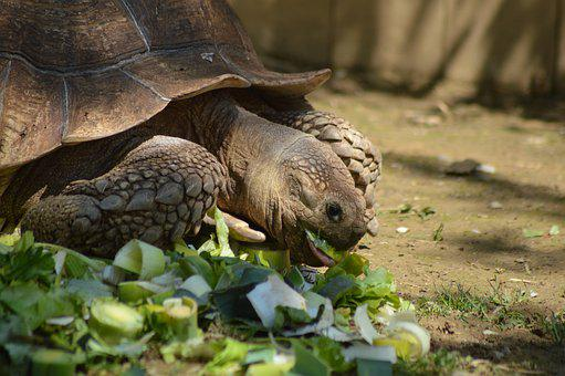 Turtle, Eat, Salad, Reptile, Zoo, Slowly, The Power