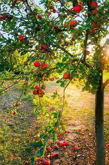 Apple Tree, Apple, Light, Autumn, Mood, Leaves