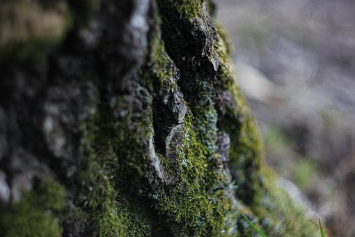 Tree, Moss, Bark, Forest, Plant, Nature