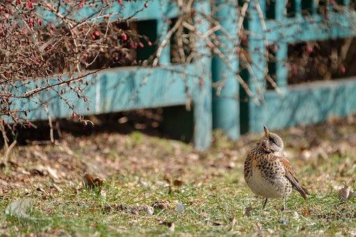 Fieldfare, Turdus Pilaris, Thrush, Bird, Songbird
