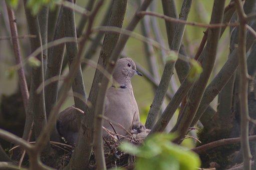 Mom, Dove, Bird, Nest, Ornithology, Nature, Animals