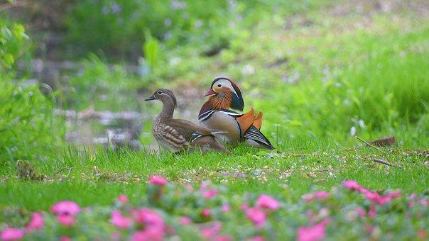 Mandarin Duck, Beautiful, Birds And Flowers