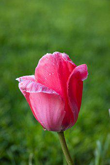 Tulip, Flower, Blossom, Bloom, Garden, Spring