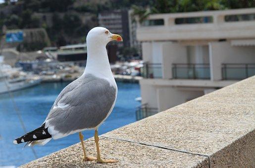 Sea Gull, Gull, Sea, Blue, Seagull, Bird, Water