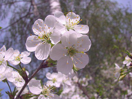 Spring, Bloom, Cherry, Flowers, Branch, Petals, May