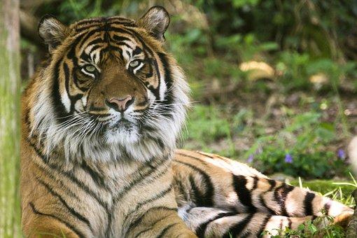 Tiger, Cat, Animal, Dangerous, Nature, Stripes