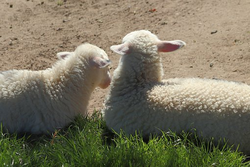 Lambs, Sheep, Animals, Pets, Wool, Cattle, Grass